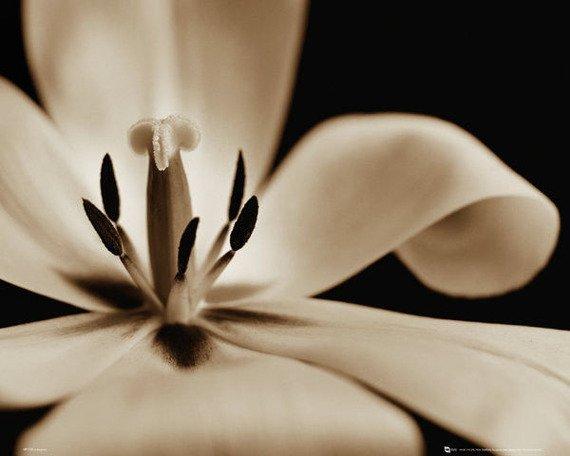 plakat FLOWERS - TULIP